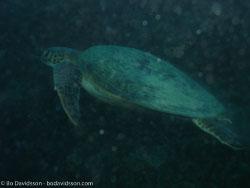 BD-060408-Moalboal-4080714-Eretmochelys-imbricata-(Linnaeus.-1766)-[Hawksbill-turtle.-Karettsköldpadda].jpg